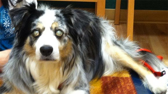 Australian Shepherd with PRA