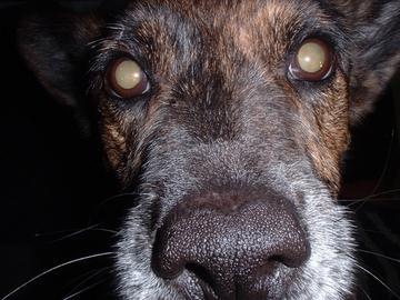 Hund mit Katarakt