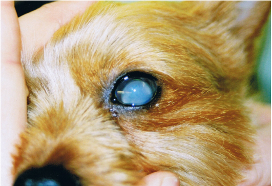 Atrophy Of The Eye In Dogs