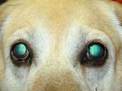 Labrador retriever mit PRA