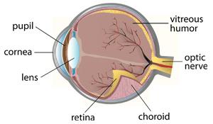 Augenerkrankungen beim Hund - Anatomie des Auges