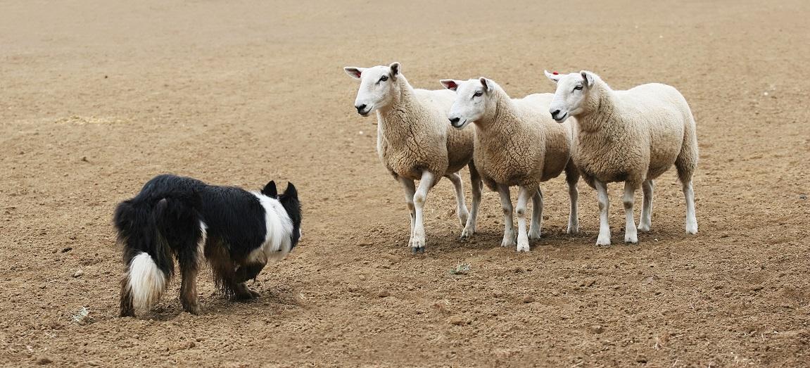 Border koli - graničarski ovčar