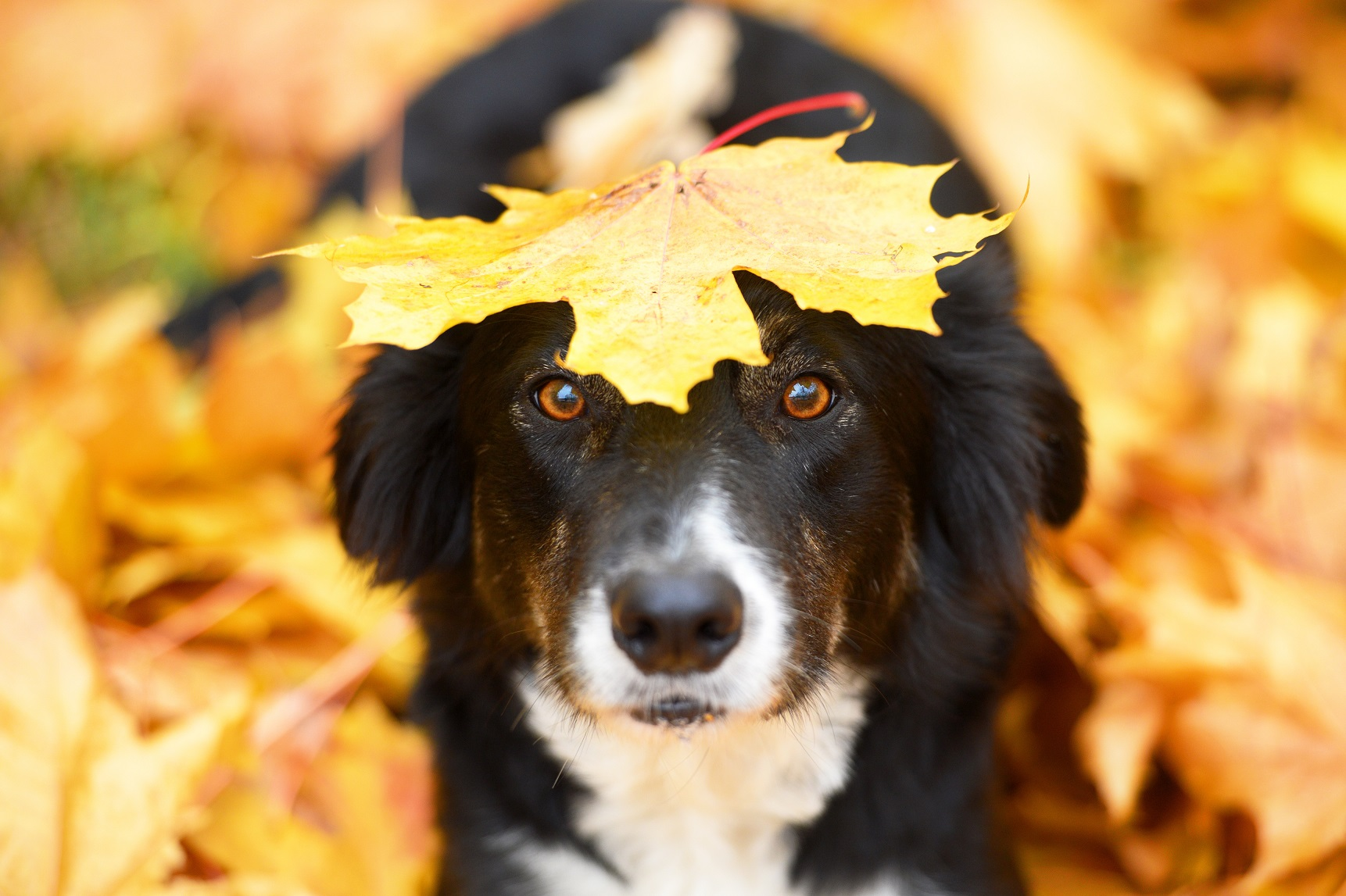 Border Collie Herbst