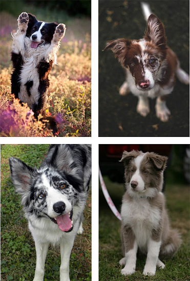 border collie inherited traits and diseases animalabs