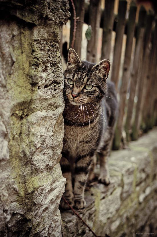 Birchdusk of WhisperClan Agouti-cat-tabby