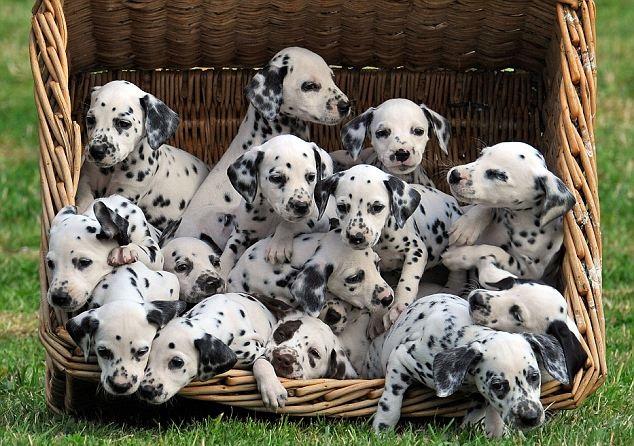 sve o psima mješancima